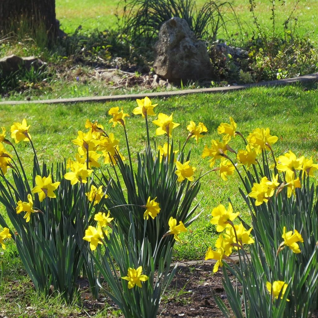 It's a good thing that the deer don't like to eat daffodils being there are so many here now at Lake of the Pines.