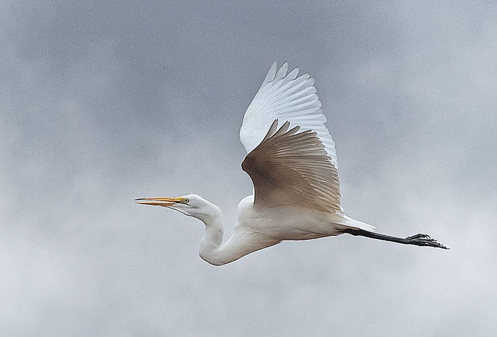 This shot of a Great White Egret in Flight, with a 6- to 8-foot wing span, shows why Janet Peters focuses on the gracefulness of birds, especially when they are flying.