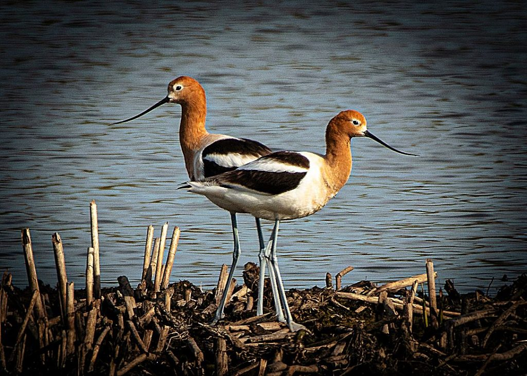 """American Avocets, """"posed"""" here for a delightful composition in their habitat."""