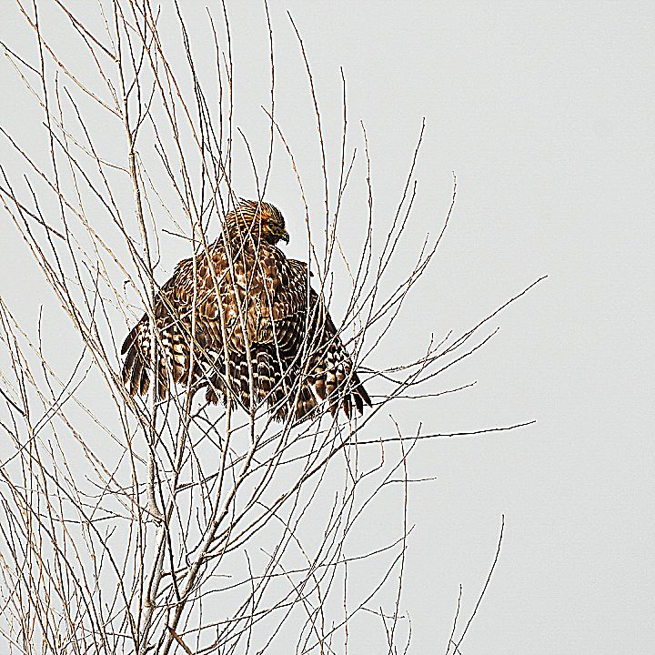 In the case of the Red-Tailed Hawk, we'd be glad to hang such an artful photo on our walls.