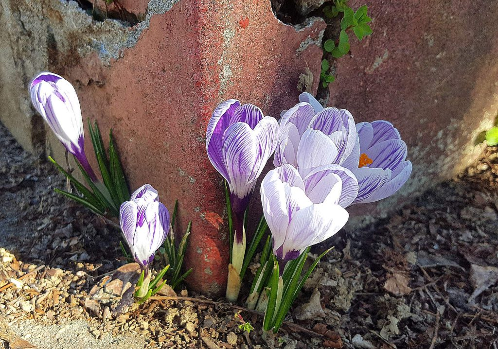 Crocuses, one of the first signs of spring, push up through a crack in the sidewalk in Nevada City.