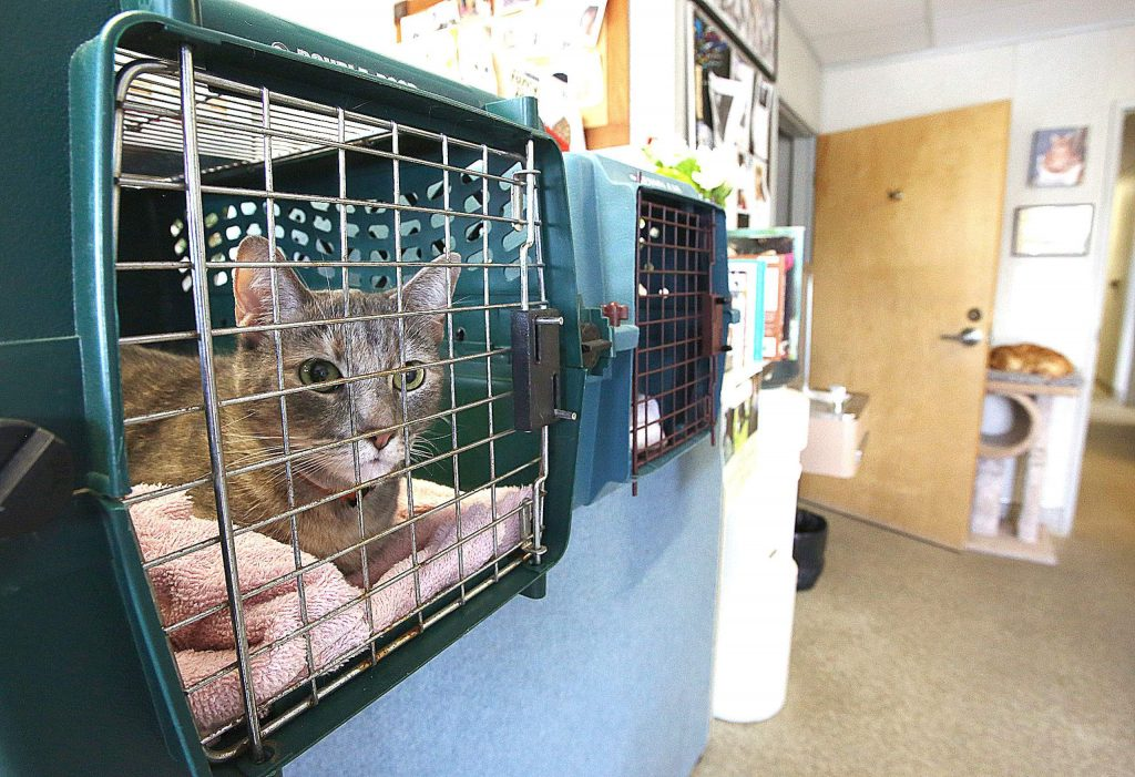 A pair of cats that lived at Sammie's Nifty Thrift Shop await their foster families from the counter at Sammie's cat house Friday.