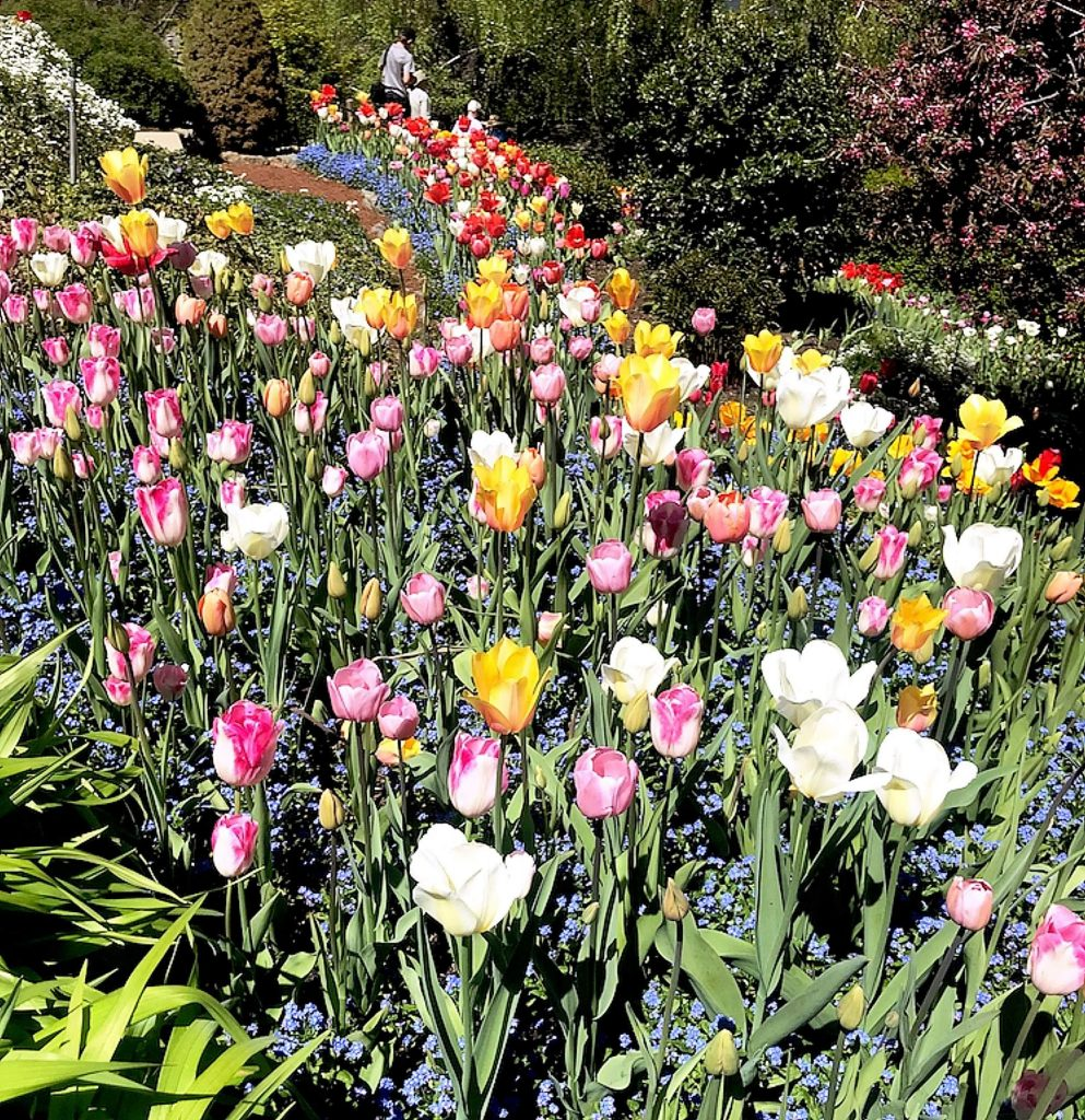 Although closed in the wake of the coronavirus, the more than 17,000 tulips at the Crystal Hermitage Tulip Garden at Ananda Village can be enjoyed via a virtual tour.