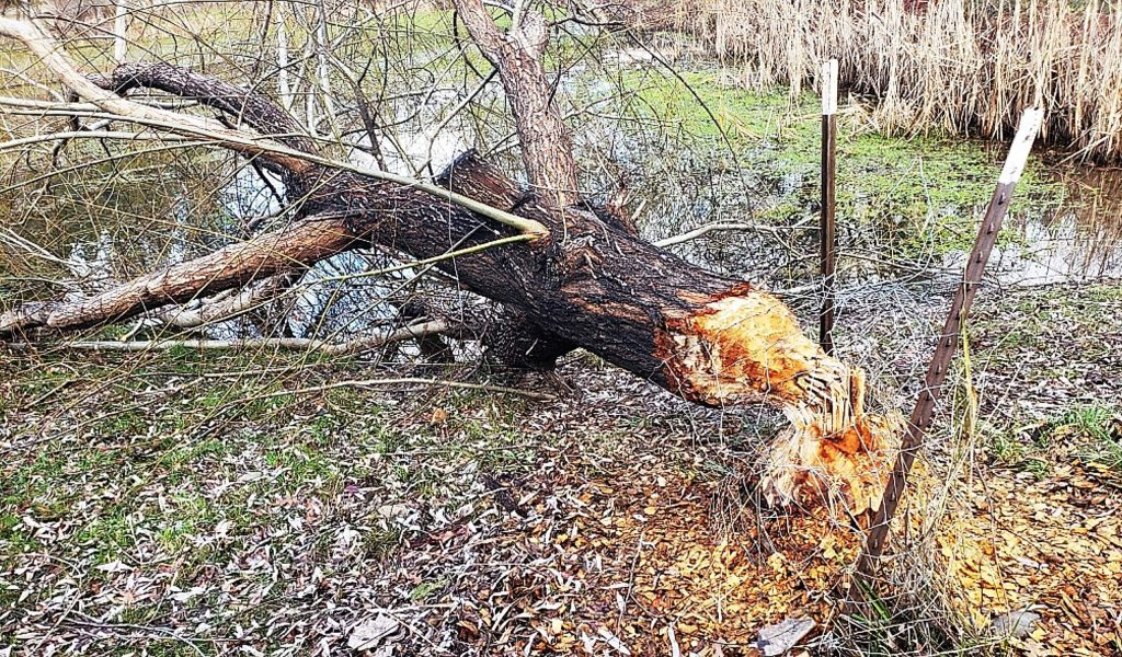 A beaver colony within Alta Sierra chewed down this willow tree off Norlene Way.