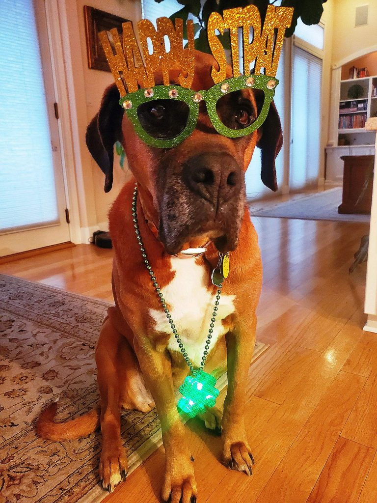 Josie the St. Bernard-Boxer cross had a tail waggin' good time on St. Patrick's Day.