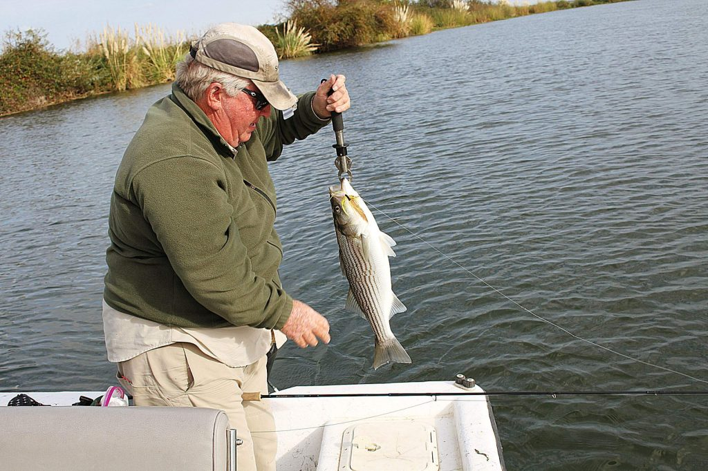 It is normal for the bulk of the striper population to winter in the delta and begin their spawning run in March. This winter, there was not the abundance of stripers in the Delta. These fish seem to have wintered downstream in San Pablo or Francisco Bays.