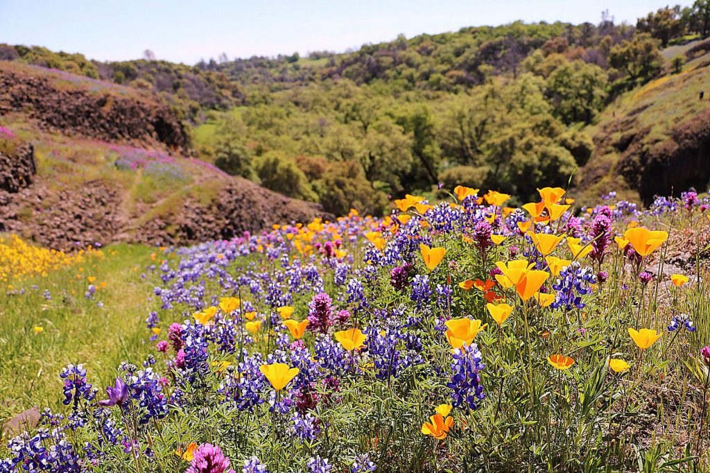 Plan to hike Table Mountain Preserve this spring. The only way to believe this place is for real is to see it. Easter weekend is a popular time. But as long as the flowers bloom it is worth the drive to Oroville in Butte County.
