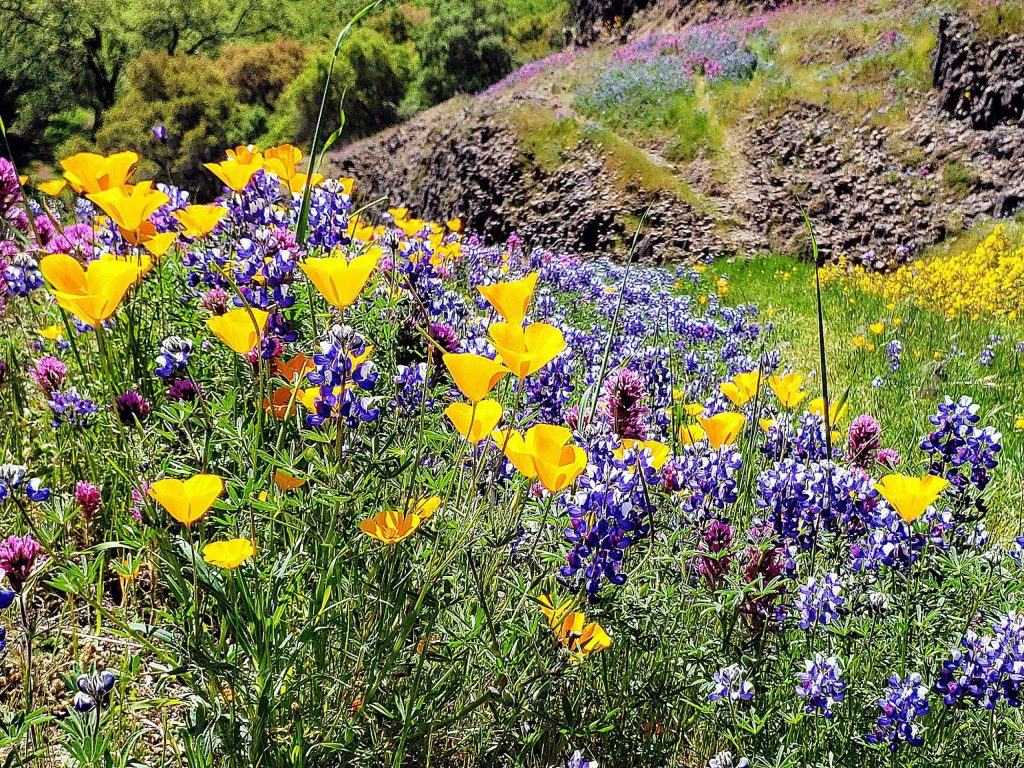 An abundance of native flowers line the trails on Table Mountain.