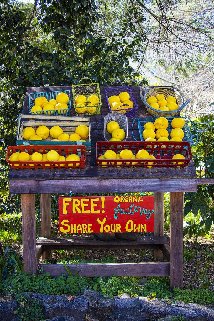 Fresh grapefruits at the Outside Inn on Feb. 25, part of Nevada City's free organic fruit/veggies sharing.