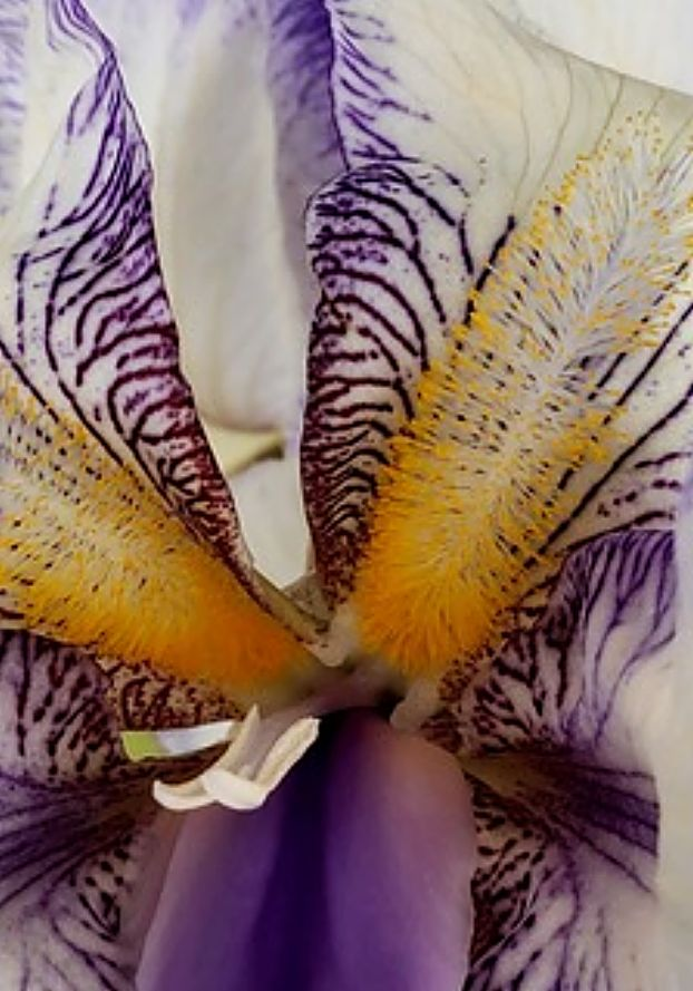 Close up of a Bearded Iris found on Main Street in Mendocino, CA.