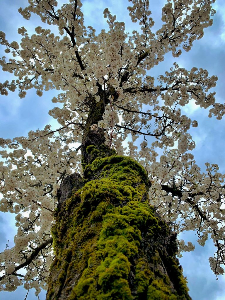 Spring blossoms in a moss laden tree in a Grass Valley parking lot on Monday, March 9.