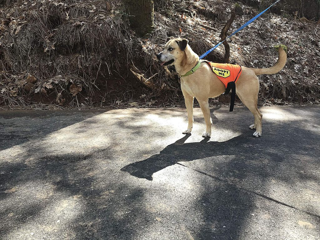 Daisy gets a break from the Grass Valley Animal Shelter and enjoys the sights and smells of the new Wolf Creek Trail.