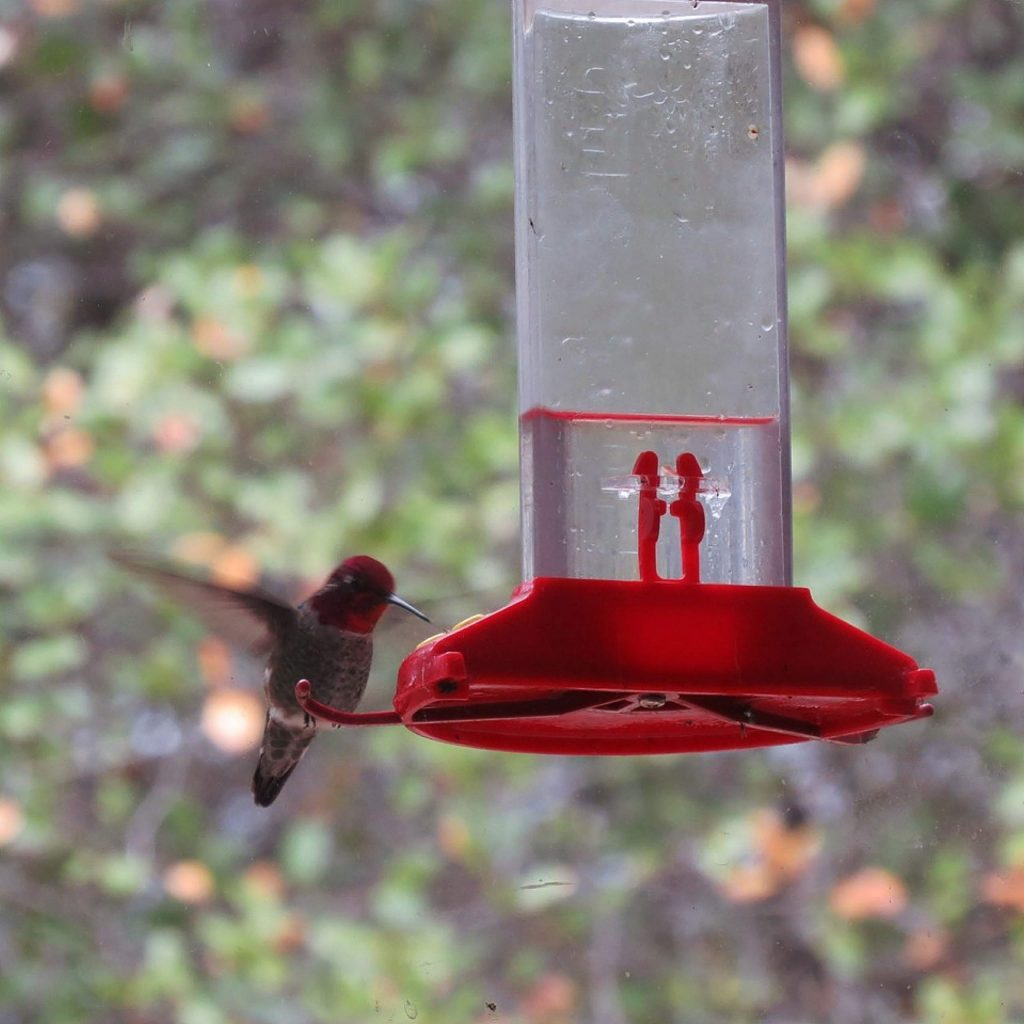 This hummingbird is happy to get sugary water from this device here at Lake of the Pines.