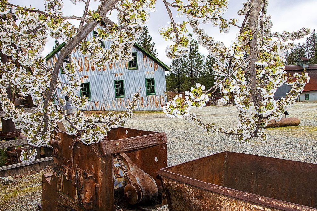 Beautiful blooming wild cherry tree at the Mine Yard at Empire Mine in Grass Valley.