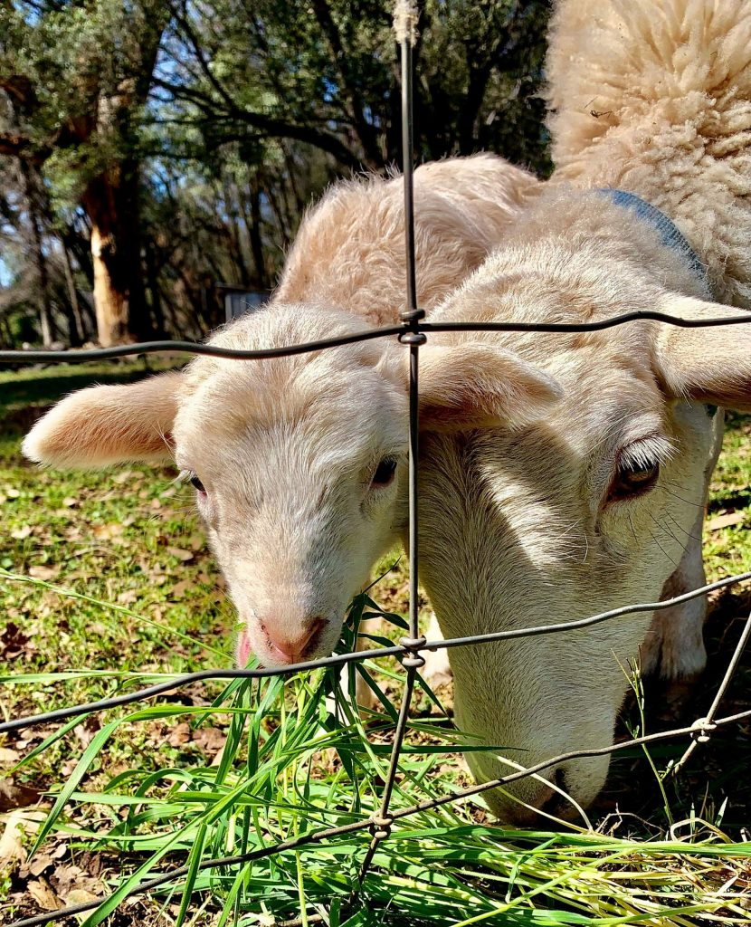 Spring lambs in Penn Valley on Friday, March 28.