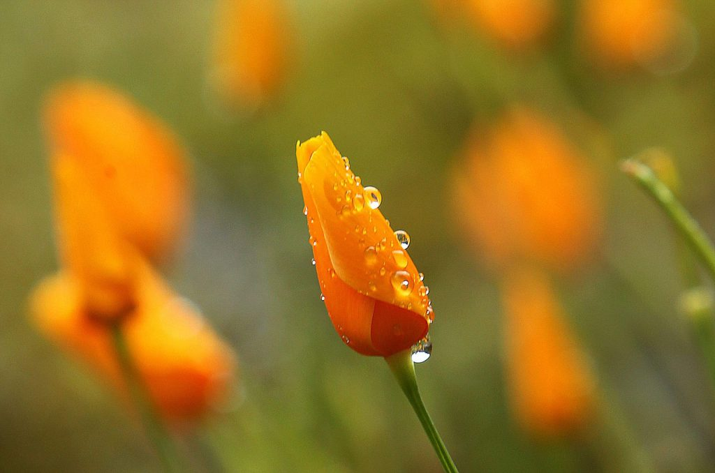 Raindrop laden poppies await the rays of the sun Saturday along the Buttermilk Bend Trail at the South Yuba River State Park at the Bridgeport Bridge. The main parking lots near the popular springtime trail, have been closed in order to encourage smaller groups of users at the park.