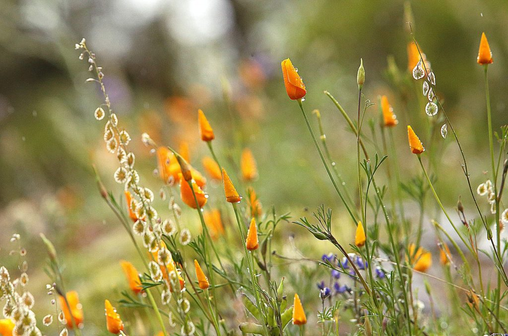 The wildflowers are blooming along the Buttermilk Bend Trail at the South Yuba River State Park. While the park remains open, COVID-19 fears have prompted park officials to close many parking lots to popular Nevada County state park destinations.
