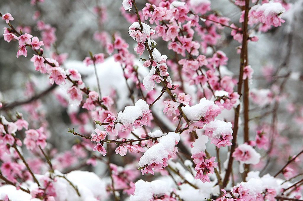 Pink blossom petals that emerged during the early spring are now covered in snow, a reminder that winter remained in effect Monday morning along Zion Street in Nevada City.