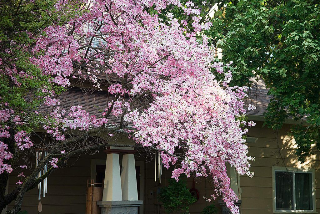 Dogwood trees bloom in downtown Nevada City, and can be enjoyed by walking tour.