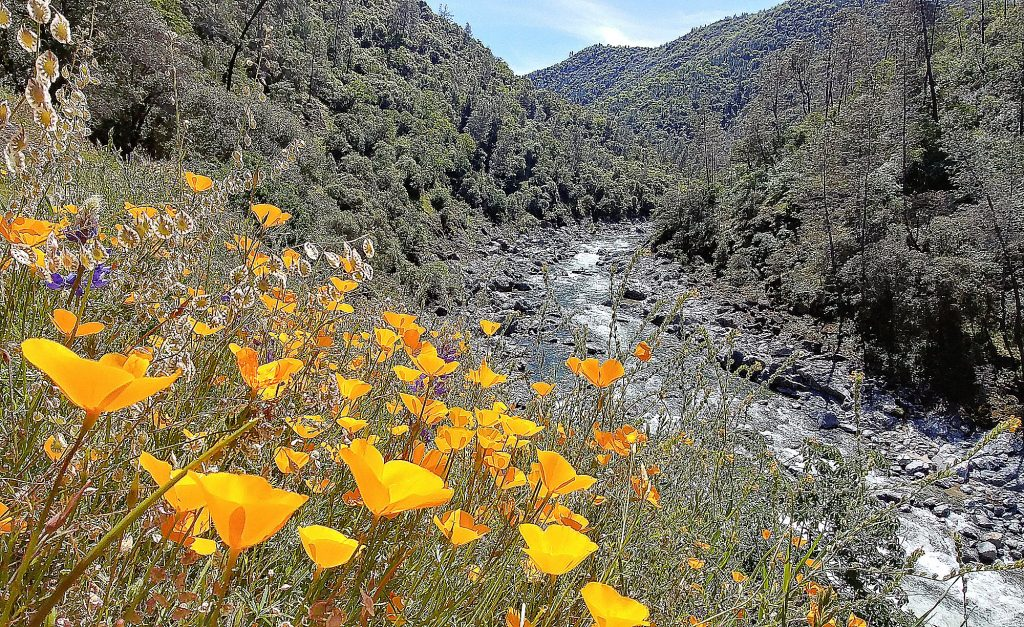 Wildflowers bloom along the Buttermilk Bend trail along the South Yuba River earlier this month.