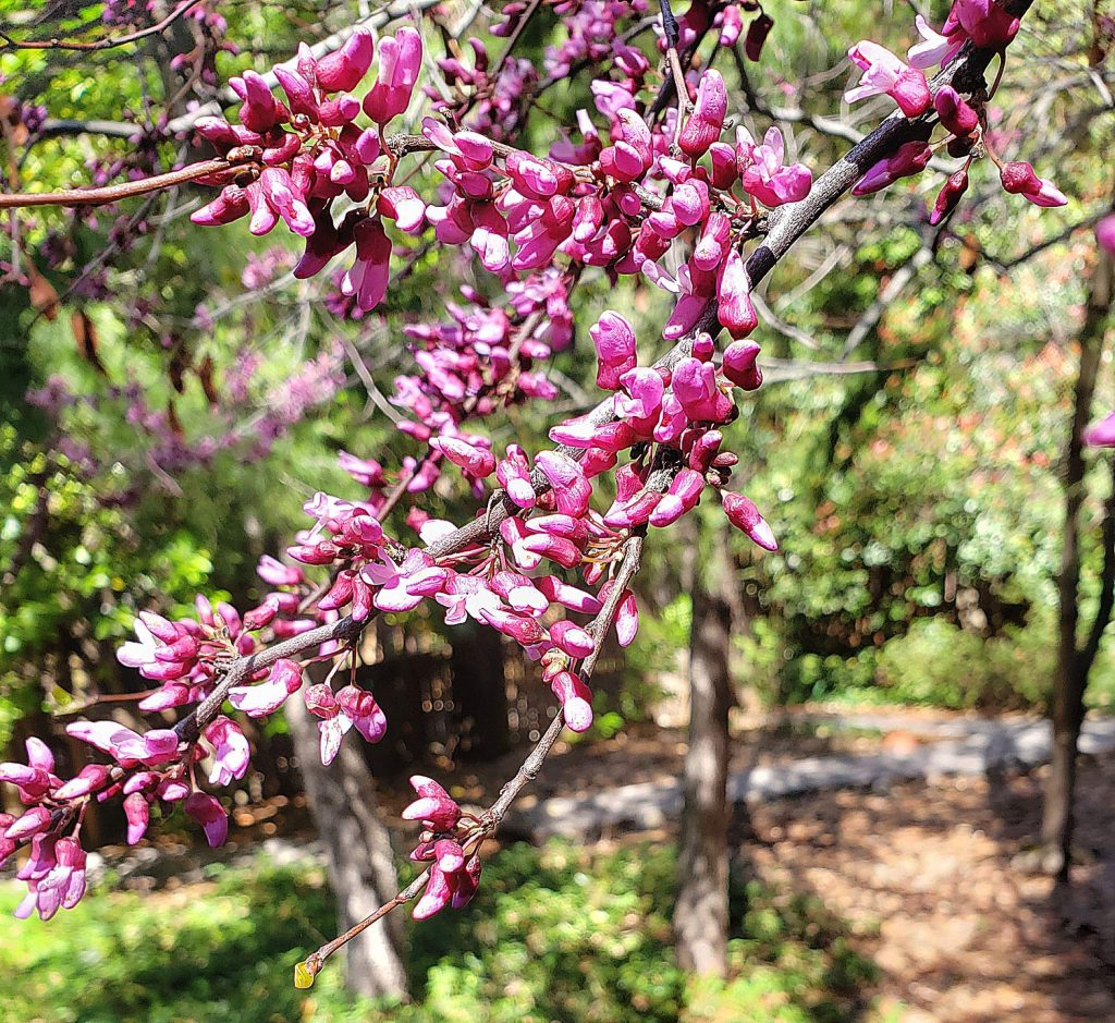 As a native tree, redbud supports the wildlife in our ecosystem.