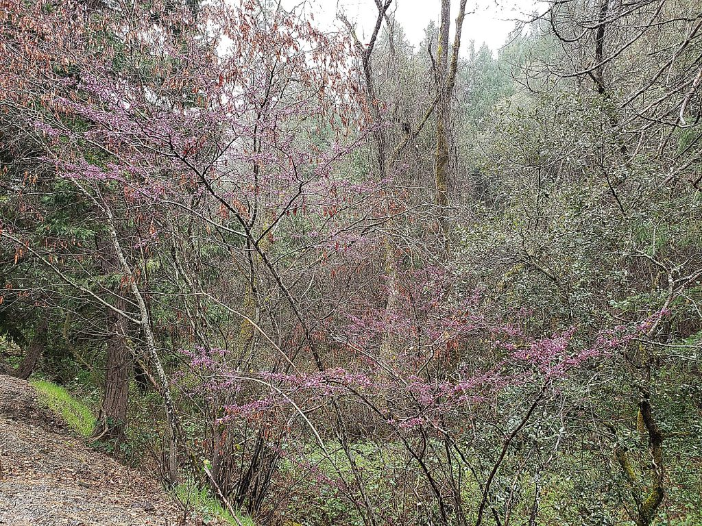 Because it can take a bit of shade, redbud is good for the edges of the forest trees we live in and around. Because of its drought tolerance, it can be planted near oaks.