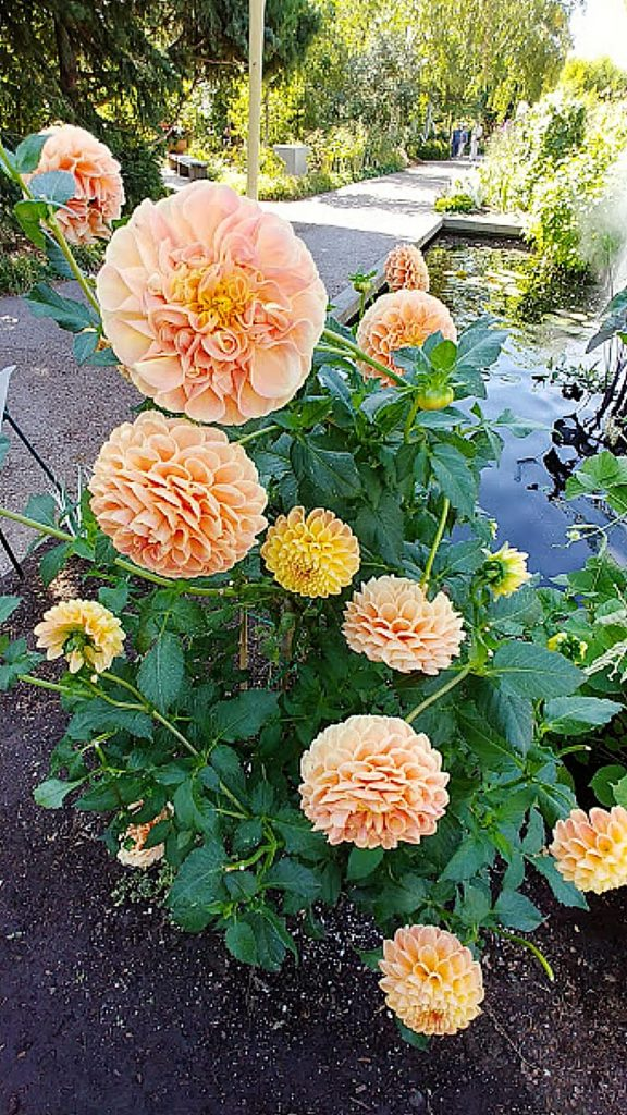 Cluster of peach colored dahlia on display.