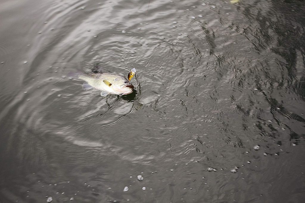 A good sized bass hooked on a plastic worm in the shallows.