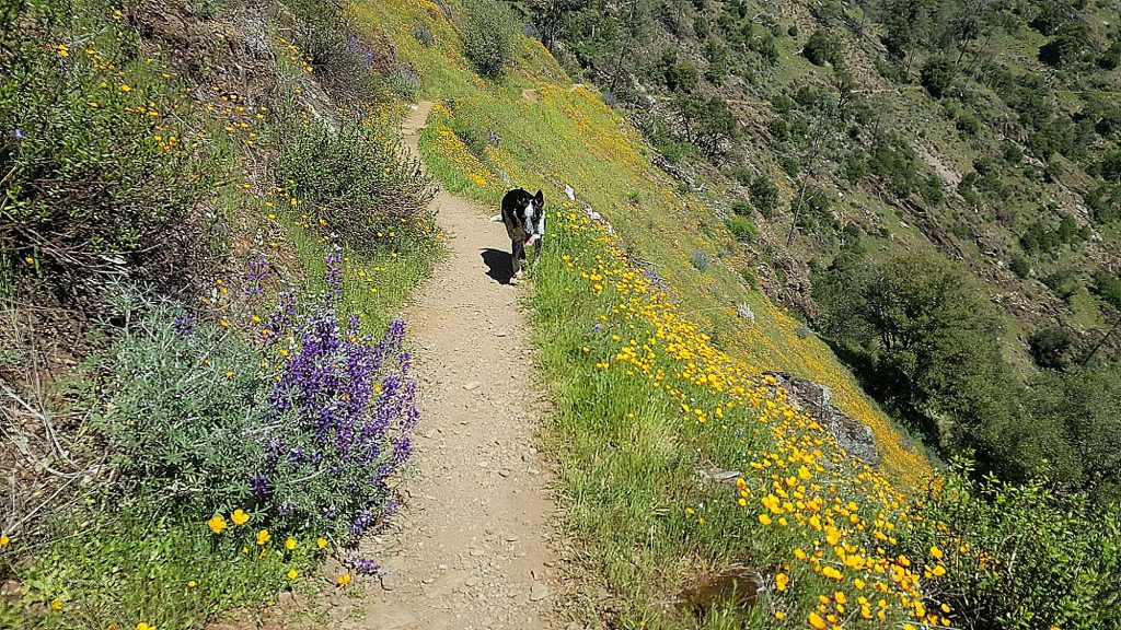 Much of this trail is exposed so make sure you take plenty of water and sun protection for the nine-mile in and out hike that ends at the edge of the American River.