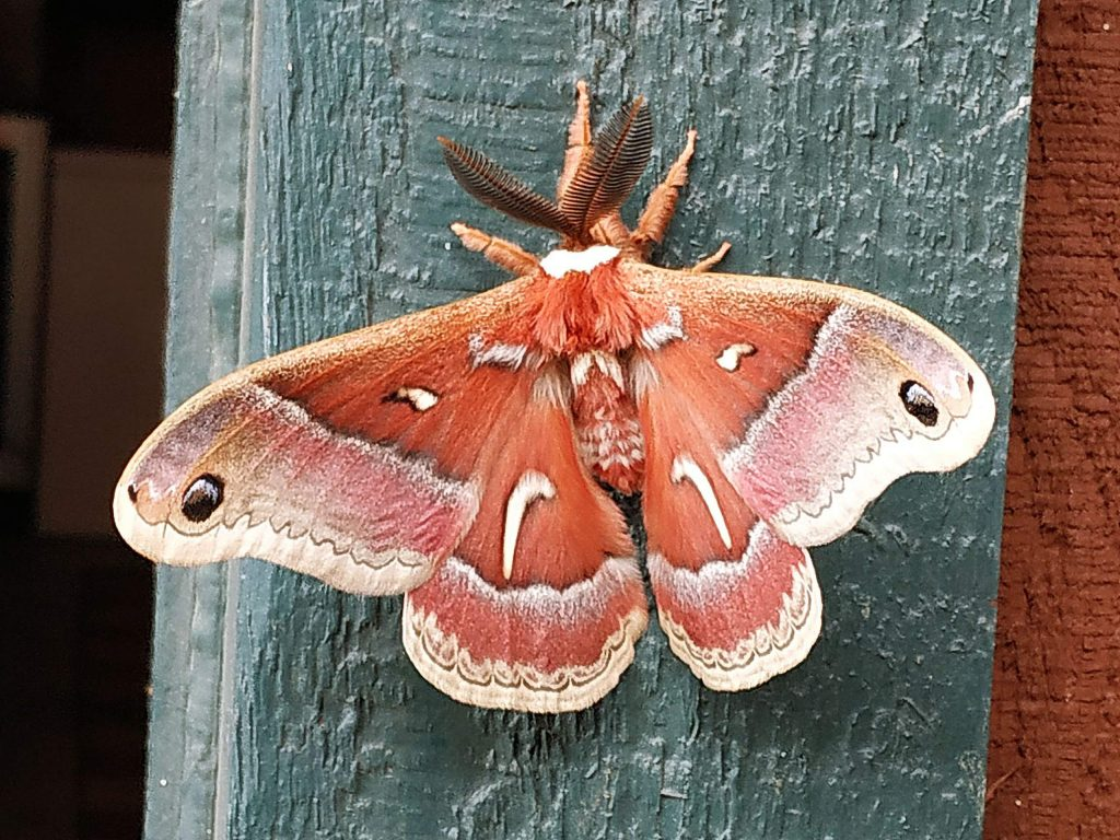 Morning visitor - Wood Moth.