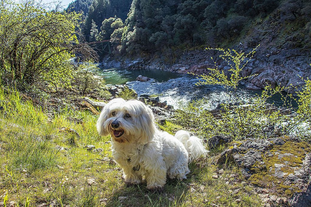 Oliver social distancing while hiking along the South Yuba River with his humans.