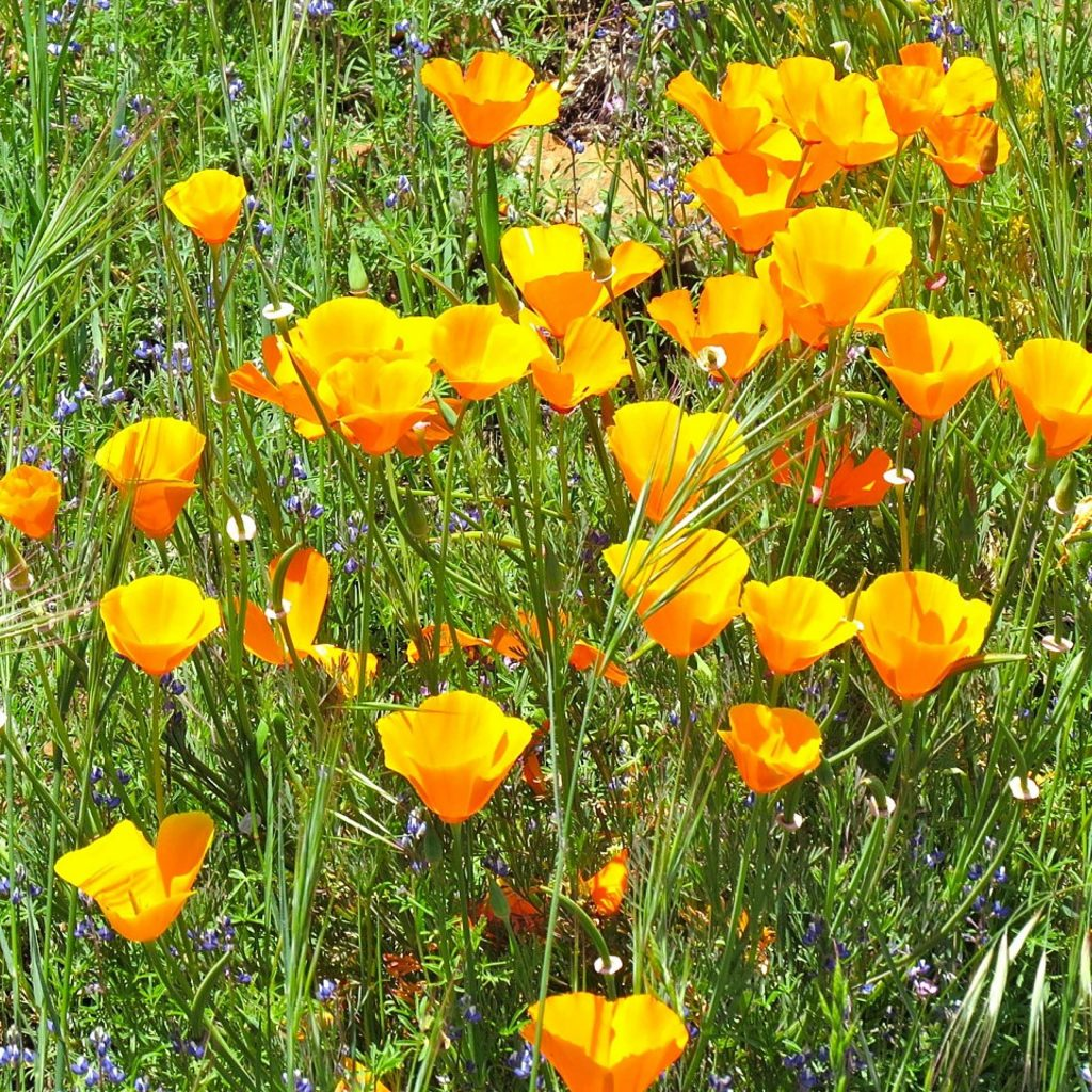 Pretty poppies on hill across from small lake here at Lake of the Pines.