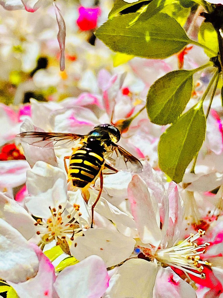 Bee amongst the beautiful cherry blossoms in full bloom on Freeman Lane Grass Valley.