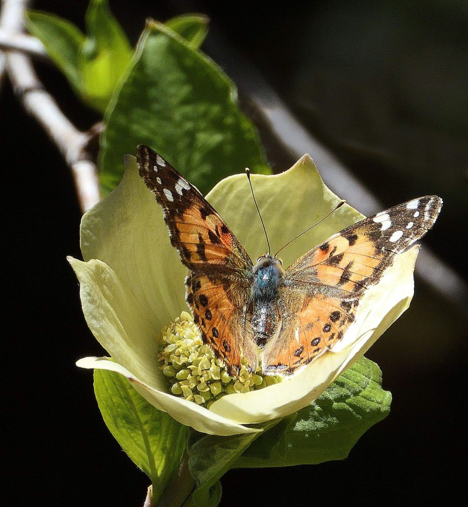 With the latest warm weather and sunshine a painted lady butterfly visits a freshly developed dogwood bloom.