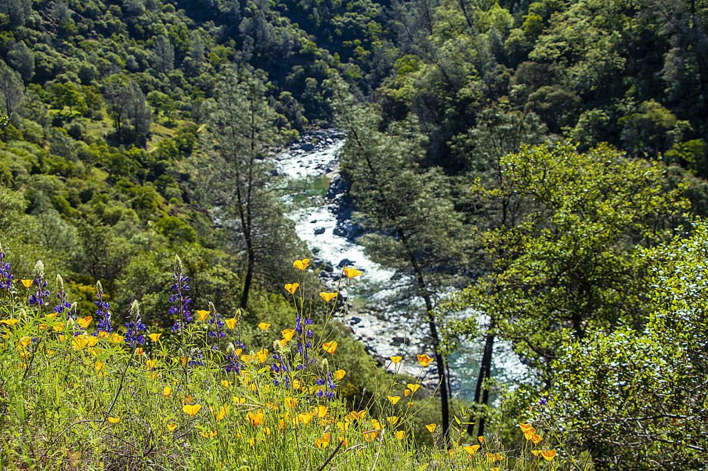Field of poppies overlooking Buttermilk Bend Trail-South Yuba River.