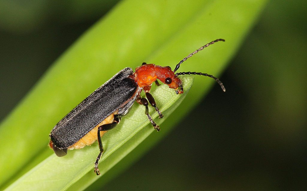 Soldier beetles, like ladybird beetles, are one of the good guys in the garden that eat aphids