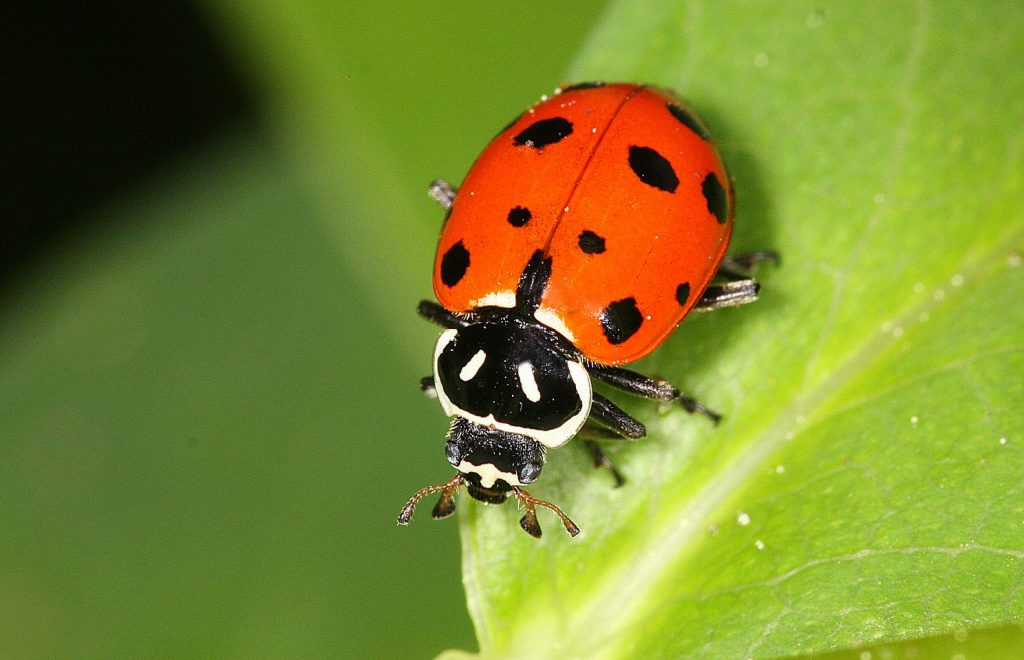 The ladybird beetles (or ladybuys, as they are known in North America) are a welcome sight in the garden.