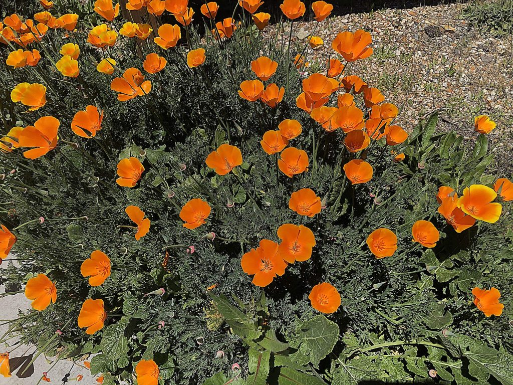 Poppies at the Northstar Mining Museum.