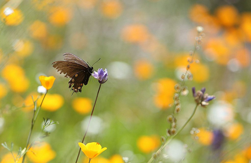 A butterfly stops along a blue dicks wildflower Tuesday in the South Yuba River State Park system.