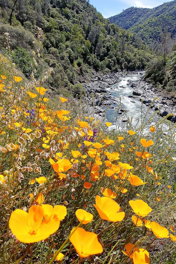Spring has sprung and the wildflowers are in full display along the trails of the South Yuba River State Park in Nevada County. Though parking lots at most river access points have been closed, the parks and trails remain open, though proper social distancing and the wearing of masks on single track trails is encouraged.