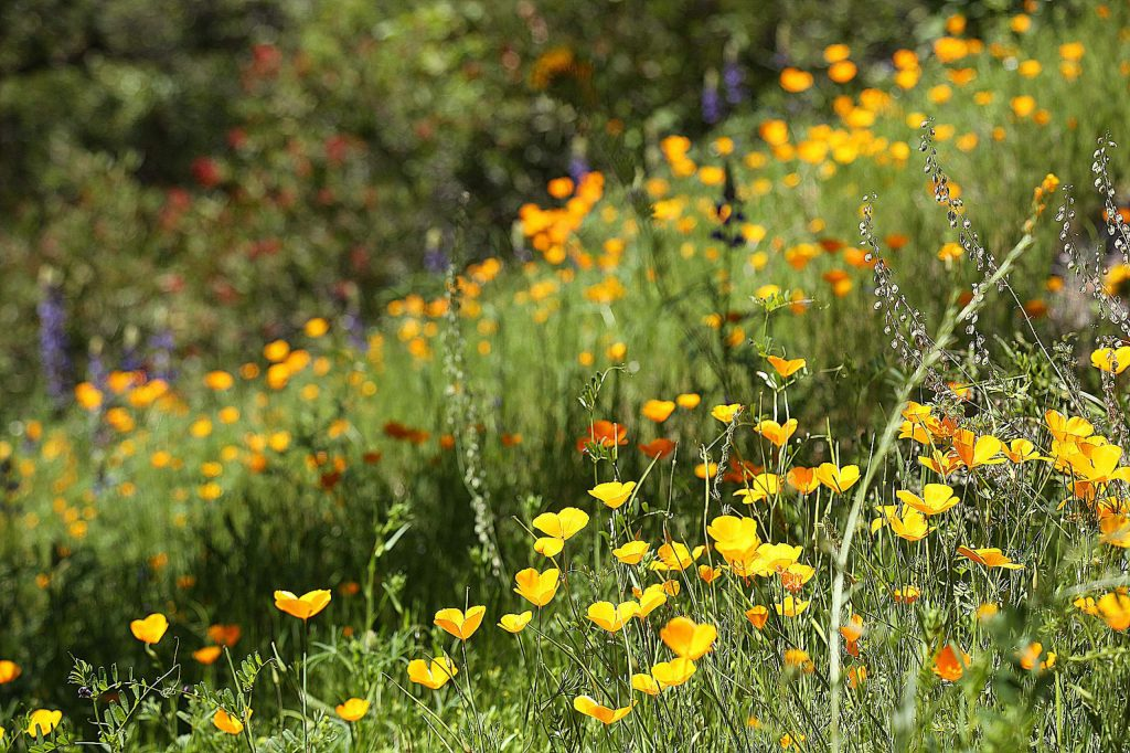 The wildflowers along the Buttermilk Bend trail in the South Yuba River State Park at Bridgeport are blooming. While the trail is open, parking lots at the river access are closed and people are encouraged to practice safe social distancing while on trails.