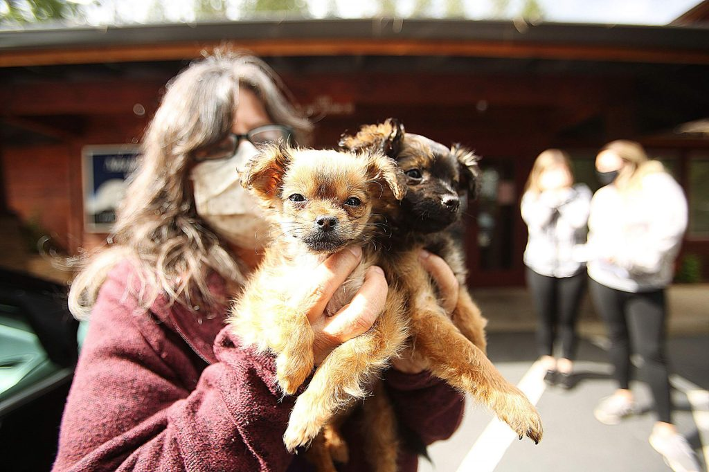 Chihuahua terrier mix puppies Beast and Guston are brought in to Mother Lode Veterinary Hospital by Rescue for Pet Sake's Pamela Gorman earlier this week.