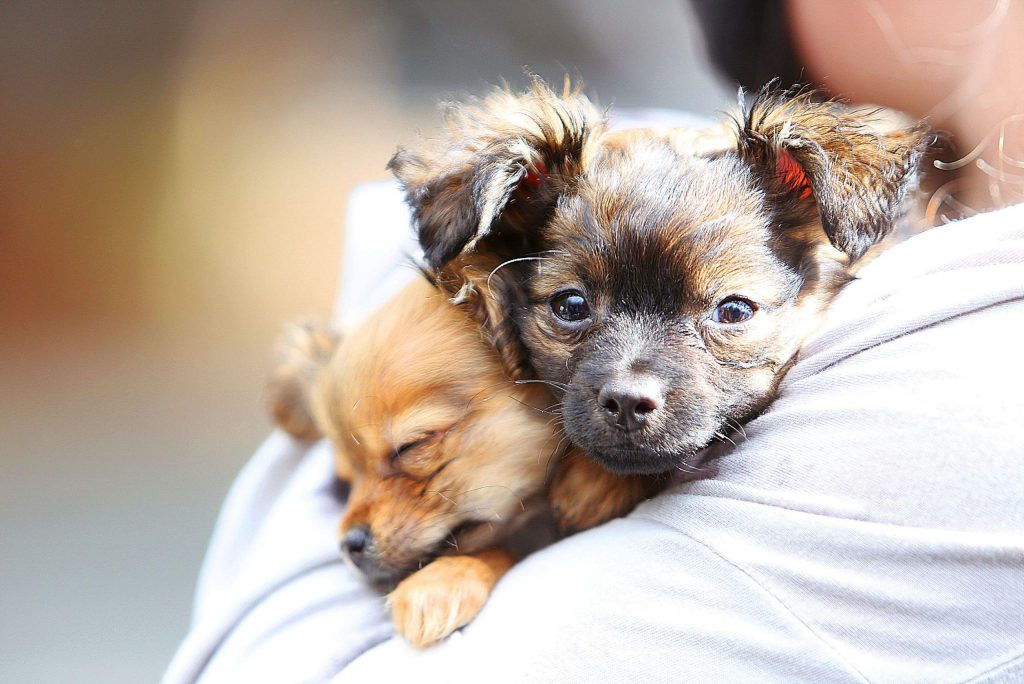 Chihuahua terrier mix puppies Beast and Guston get their health check up this week at Mother Lode Veterinary Hospital in Grass Valley.