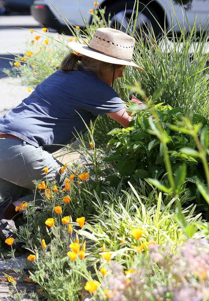 Volunteers get into the weeds as they help beautify downtown Nevada City working on projects such as cleaning, painting, weeding, and others.