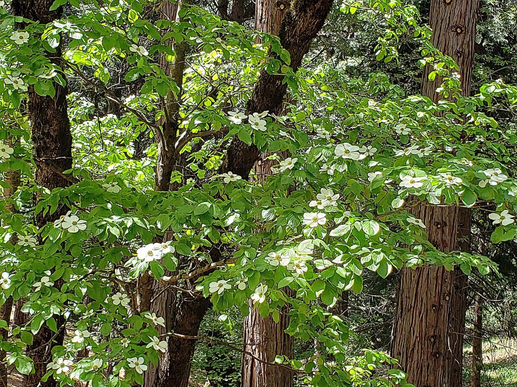 You might have noticed a dogwood that doesn't live in a lawn. It's one that grows in much of the west coast and in the Sierra. It's called Pacific dogwood (Cornus nutallii) and is quite spectacular with big white flowers.