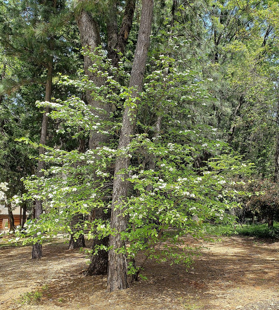 While the eastern dogwood flowers better with full sun or a little afternoon shade, the Pacific dogwood is made for part shade.