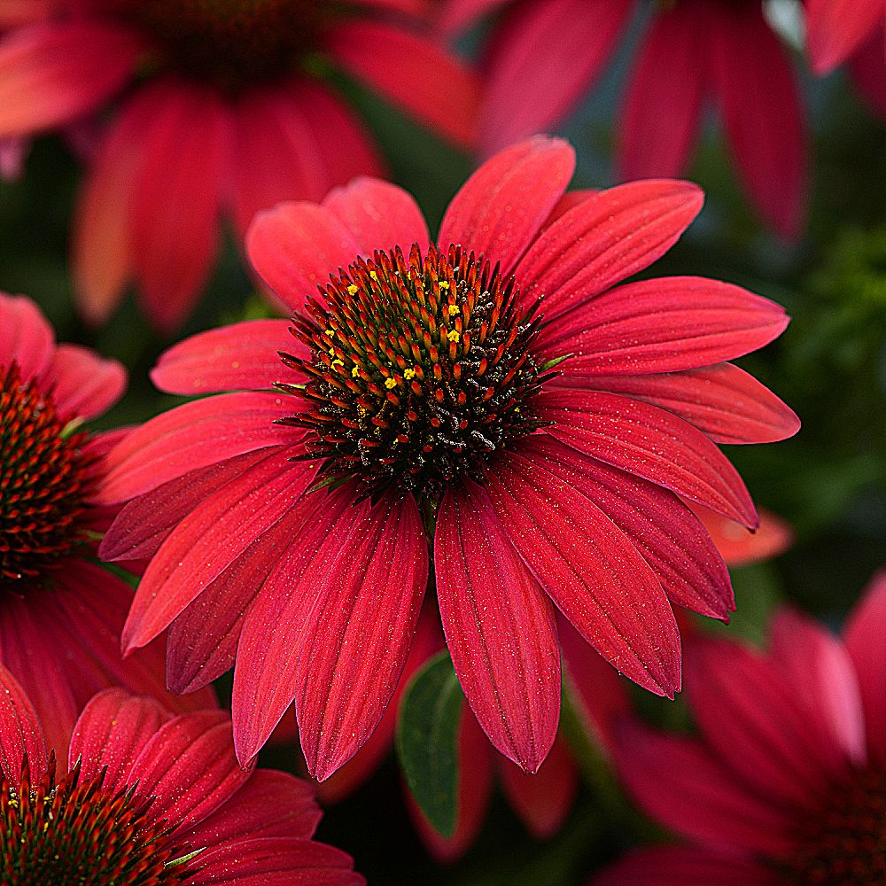 After surviving brutal winter and summer conditions, Echinacea Sombrero® Baja Burgundy, a 2020 All-America Selections winner, continued to produce flowers midsummer to frost during a three-year plant trial.