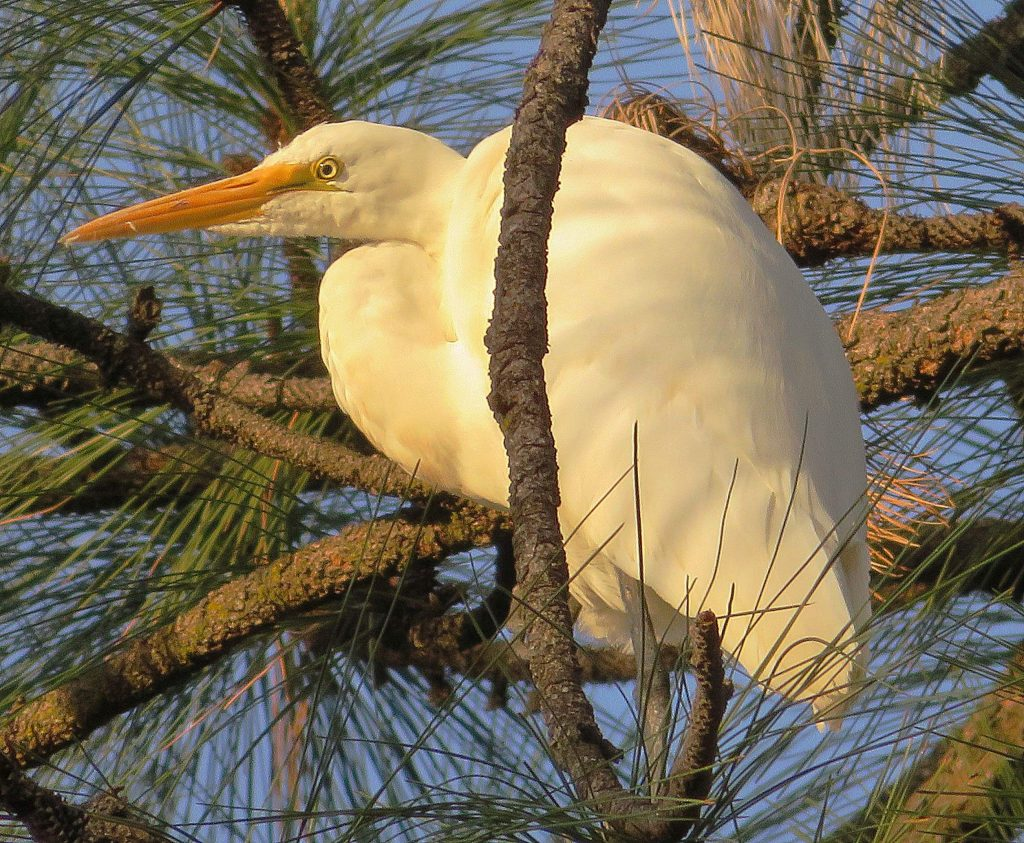 I walked down to my pond last night and I saw this egret in one of our tall pine trees - he stayed there for 30 minutes while the last rays of sun shined on his white form. Photo taken April 27 at a pond in Rough and Ready.