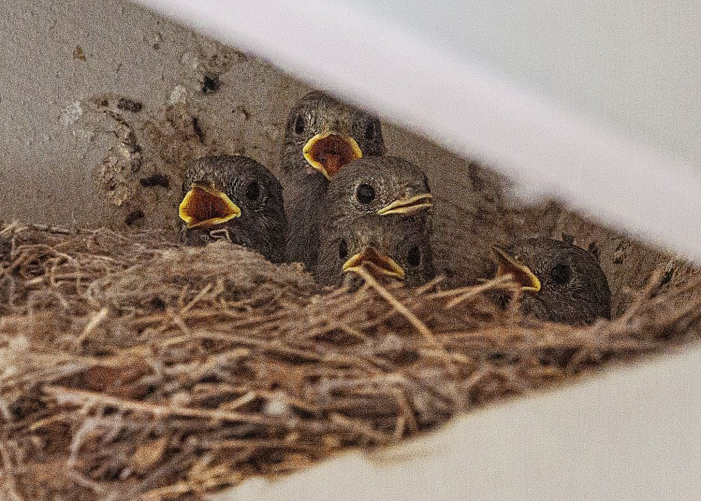 Five hungry baby birds!