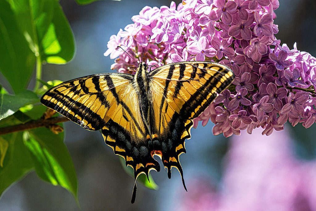 Tiger Swallowtail Butterfly enjoying the lilac blossoms.
